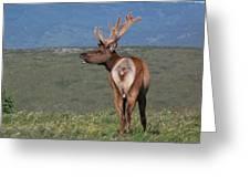 Tule Elk Bull Bugling Greeting Card