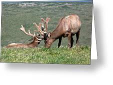 Tule Elk Bull Grazing In Meadow Greeting Card
