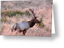 Tule Elk Bull In Grassland Meadow Greeting Card