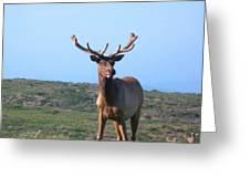 Tule Elk Bull In Grassland Near Drake's Bay Greeting Card