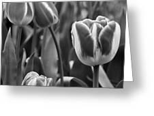 Tulip 41 Greeting Card