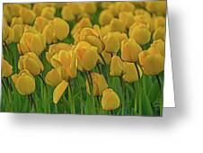 Tulip. Greeting Card