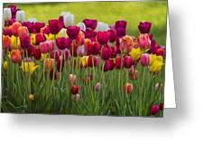 Tulip Bed  0117op Greeting Card