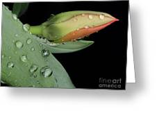Tulip Bud Greeting Card