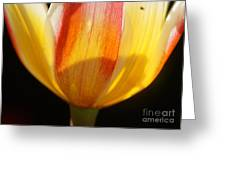 Tulip Calyx In Backlight 4 Greeting Card