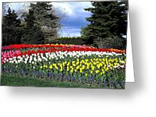 Tulip Country Greeting Card