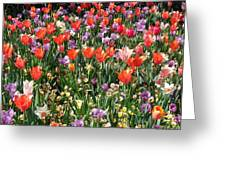 Tulip Delight 2 Greeting Card