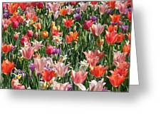 Tulip Delight 4 Greeting Card