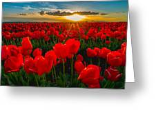 Tulip In Sunset Greeting Card