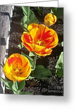 Tulip Red And Orange Greeting Card
