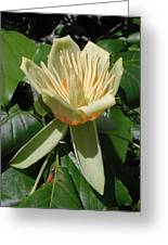 Tulip Tree Flower Greeting Card