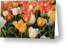 Tulips Ablaze With Color Greeting Card