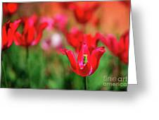 Tulips At Honor Heights Greeting Card