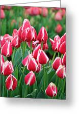 Tulips - Candy Apple Delight 02 Greeting Card