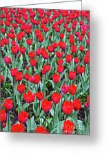 Tulips In Kristiansund, Norway Greeting Card