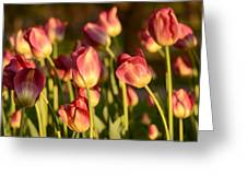 Tulips In Public Garden Greeting Card