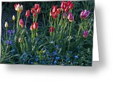 Tulips In Sunshine Greeting Card