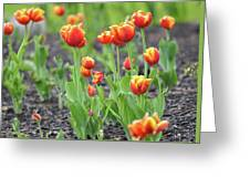 Tulips In The Springtime Greeting Card
