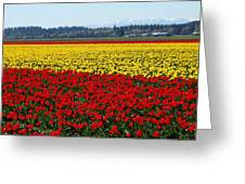 Tulips Of The Skagit Valley Greeting Card