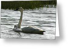 Tundra Swan And Signets Greeting Card