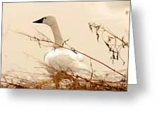 Tundra Swan Greeting Card
