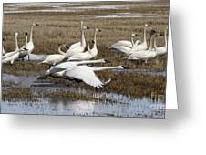 Tundra Swans Alberta Canada 3 Greeting Card