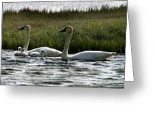 Tundra Swans And Cygents Greeting Card