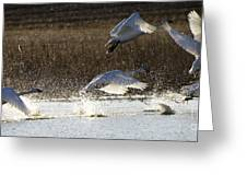 Tundra Swans Take Off 2 Greeting Card