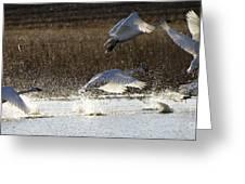 Tundra Swans Take Off 2 Greeting Card