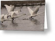 Tundra Swans Take Off Greeting Card