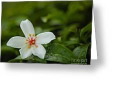Tung Flower On Tea Tree Greeting Card