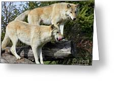 Twin Blond Wolves Greeting Card