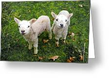 Twins - Spring Lambs Greeting Card