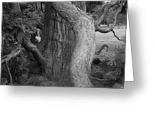 Twisted Old Tree Greeting Card
