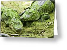 Two Alligators Greeting Card by Garry Gay