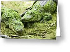 Two Alligators Greeting Card