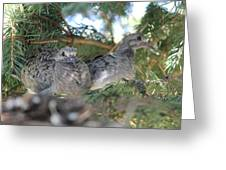 Two Baby Morning Dove's Greeting Card