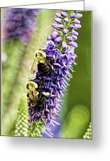 Salvia With Bees Greeting Card