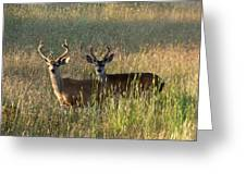 Two Black-tailed Deer In Meadow Grass Greeting Card