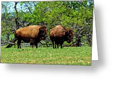 Two Buffalo Greeting Card