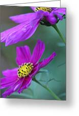 Two Cosmos Greeting Card