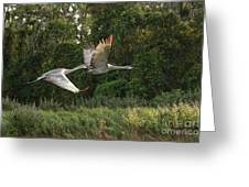 Two Florida Sandhill Cranes In Flight Greeting Card