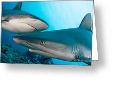 Two Gray Reef Sharks Greeting Card by Dave Fleetham - Printscapes