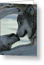 Two Gray Wolves, Canis Lupus, Touch Greeting Card by Jim And Jamie Dutcher