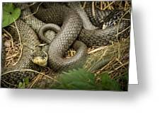 Two Intertwined Grass Snakes Lying In The Sun Greeting Card