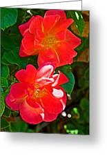 Two Joseph's Coat Roses At Pilgrim Place In Claremont-california Greeting Card