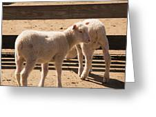 Two Little Lambs. Greeting Card