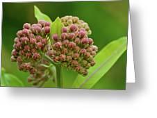 Two Milkweed Flowers Buds  Greeting Card