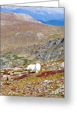 Two Mountain Goats On Mount Bierstadt In The Arapahoe National Fores Greeting Card