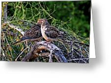 Two Mourning Doves H14 Greeting Card